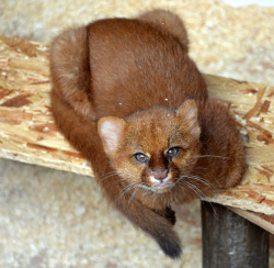 eyes-of-the-cat:  Jaguarundi Kitten by samoyeddawn