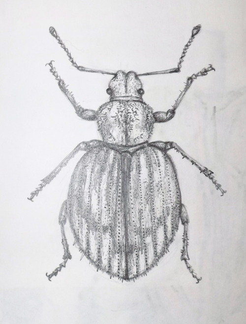 Pencil drawing of Strophosoma melanogrammus.  Thanks for the submission Ailsa!