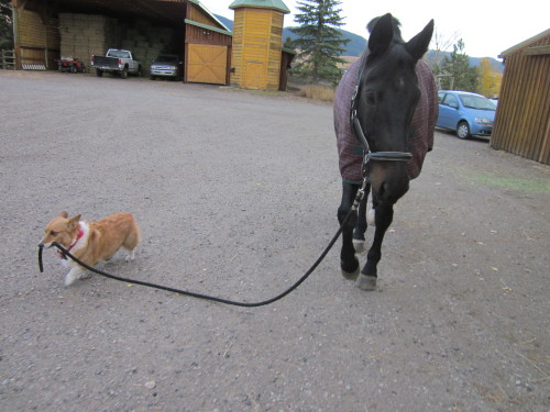 corgiaddict:  Come Arthur, it's time for dinner  And because there is nothing better than interspecie love. Corgis can not only herd sheep, but they can escort horses. That's pretty much why corgis are the best breed ever (over 3,000 hearts and counting).