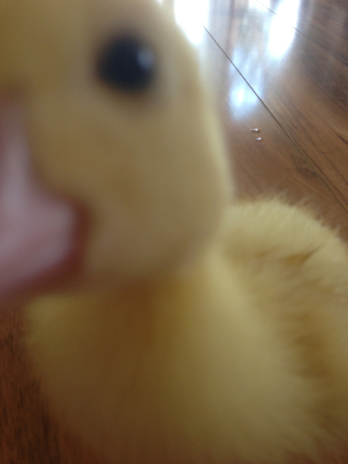 to-fall-is-not-to-fail:  Little duckling attacking my iPhone camera