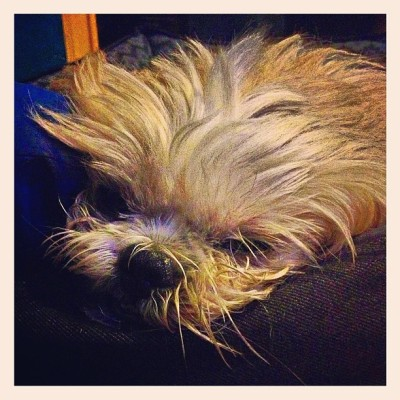 Sea lion dog.😳 Goodnight world!-Quark ☺🐶 #shihtzu #shihtzusofinstagramuse #mustlovedogs #hagrid (at Casa Sinkwenta Y Uno)