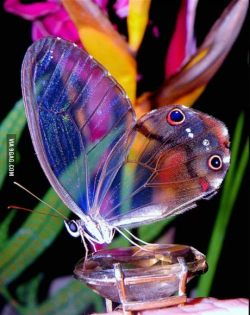 9gag:  An amber phantom butterfly