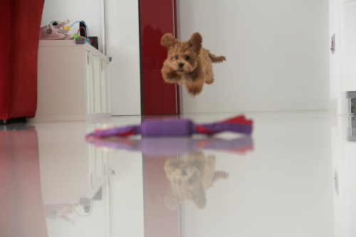 chokeac0la:  thisqualityblog:  toms-and-tomlinson:  fab5ever:  my dog is fab  aww  omfg hahaha so cute  dude, your floor is clean as fuck