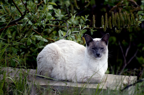isaac-lonetree:  Beauty Feral (by russell.tomlin) Feral cat sits serenely on a retaining wall by a wetlands in Veneta, Oregon.