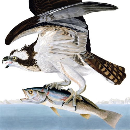 Detail of Plate 81 of The Birds of America by John Audubon, the Fish Hawk or Osprey.