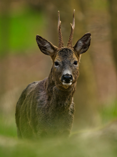 Roe Deer. Photo by Mozboz1