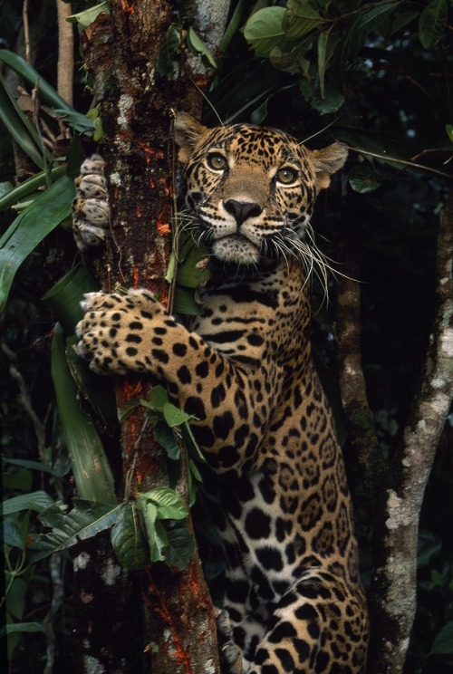 funnywildlife:  eqiunox:  A jaguar named Boo by Steve Winter  #Treehugger