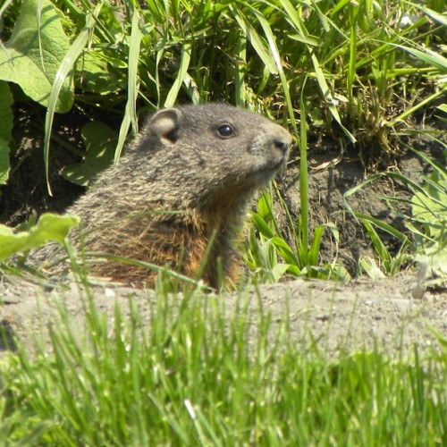 In other news…. groundhog!!!