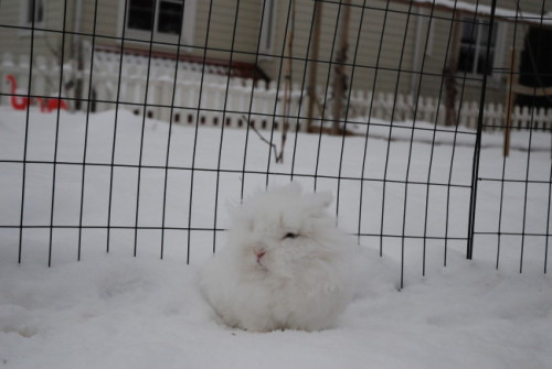 dailybunny:  Where Does the Snow End and the Bunny Begin? More at today's Daily Bunny post! Thanks, Olga!