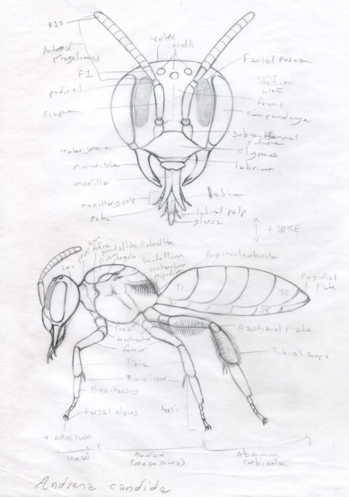 noelbadgespugh:  Bee Morphology Sketch . . illustration for book by researchers at Urban Bee Lab
