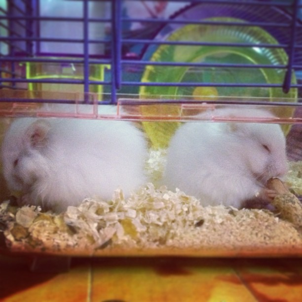"My two new babies ""thumper"" & ""trumpet"" munching away! #pets #hamster #love #fluffy #thumper #trumpet #munching"