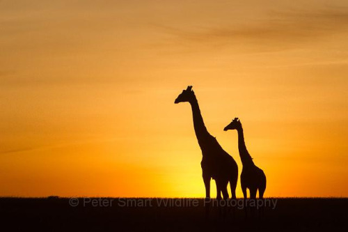 H01_2000_Giraffe_Sunrise_ky13a-2139 by Wild Imaginings on Flickr.
