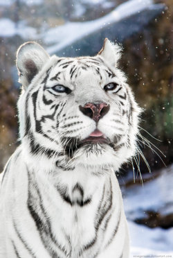 magicalnaturetour:  White Tigress Winter Portrait I by *OrangeRoom