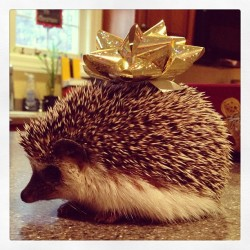 tittuhittuh:  Christmas Gabriel :) #hedgehog #hedgie #Gabriel #snap #bow #christmas #cute #gold