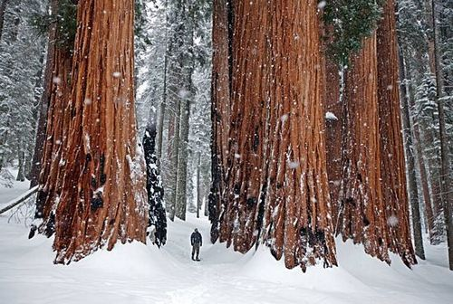 Snow Sequoias, California photo via chad
