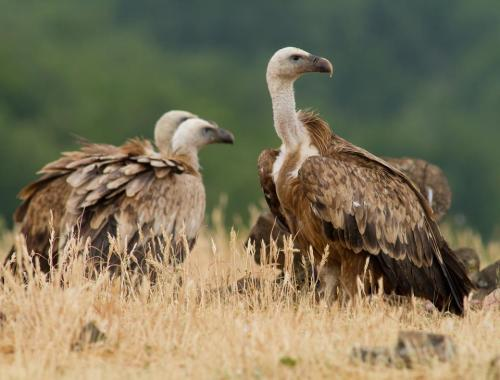 Why Vultures Devoured Hiker's Body in Minutes by Marc Lallanilla A flock of vultures devoured the body of a woman just minutes after she fell to her death while hiking in the Pyrenees Mountains in France. The woman, 52, had been hiking with two friends when she fell about 1,000 feet (300 meters) down the side of a steep mountain. Police believed she died from injuries sustained during the fall, the Daily Mail reports. Vultures are known to be able to sniff out the gaseous chemicals emanating from a dead body more than a mile away… (read more: Live Science)                   (photo: Shutterstock)