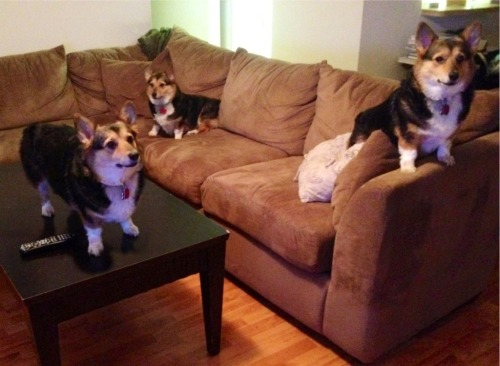 corgiaddict:  The corgi takeover has begun…