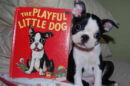"Dog Sues Publisher Over Likeness in Children's Book A 9-week-old Boston Terrier named Zoe has brought a lawsuit against Wonder Books, publisher of the 1951 children's classic The Playful Little Dog, after discovering the author used her likeness without permission. ""She doesn't have much of a case,"" says legal expert Gary Owens, who is following the lawsuit. ""The book was written 63 years before she was born. Any judge with a calculator will be able to figure that out."" Still, attorneys for the puppy are prepping opening arguments for February 20th. Via InYourLibrary."