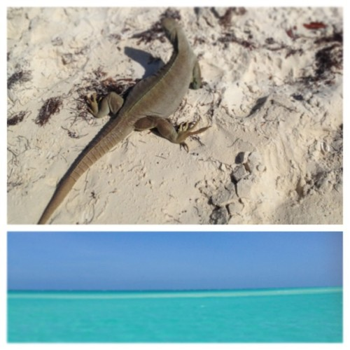Granny the Iguana on Iguana Island #picstitch (at Turks and Caicos)