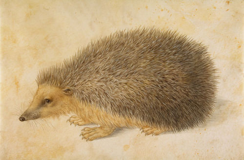heaveninawildflower:  'A Hedgehog' (before 1584) by Hans Hoffmann (1530-1591). Watercolour. http://www.flickr.com/photos/eoskins/7249630824/. Wikimedia