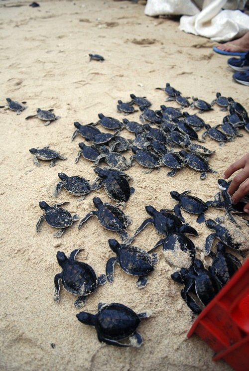 earth-song:  vurtual: Baby turtles being released (by m for marvellous)