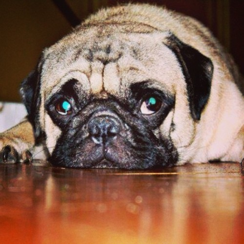 I miss my dog. #realapugnamedfender #pug #dog #family #houston #inspiration #webcomic