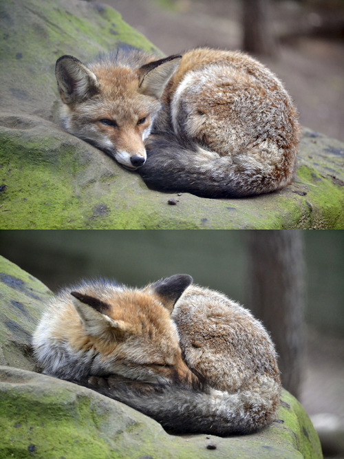 theanimalblog:  Fantastic Mr Fox By Iris F