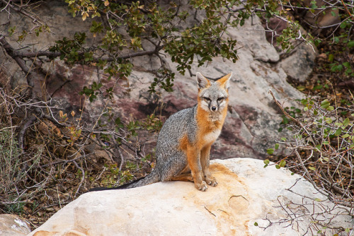 Gray Fox II – Red Rock Canyon, Nevada on Flickr.
