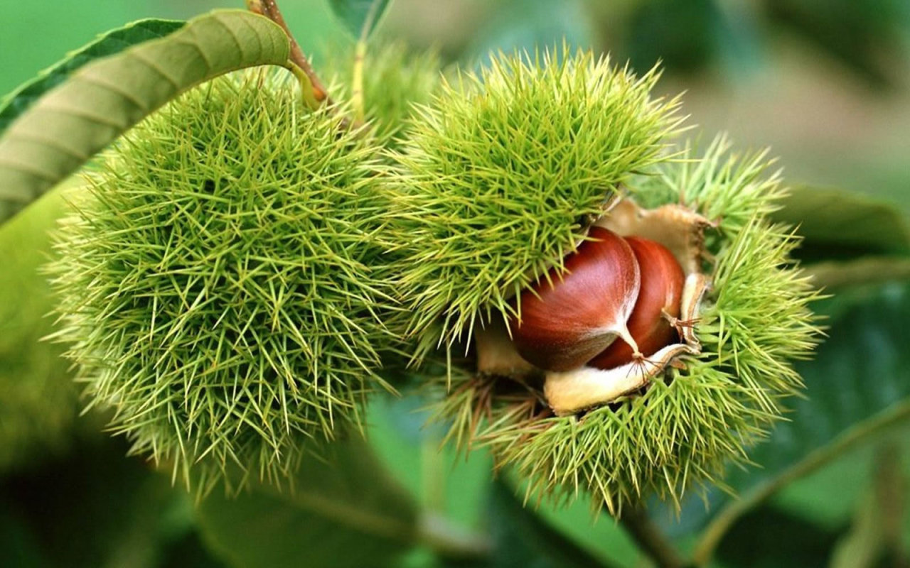 Is there a better botanical term than conker? Gladly accepting your suggestions! ~AR brilliantbotany:  Horse chestnuts, or conkers, are the seeds of Aesculus hippocastanum. Though native to Southeastern Europe, A. hippocastanum is found worldwide in parks and on streetsides. These trees have white flowers which grow in clusters called panicles, and each panicle grows only a few conkers.