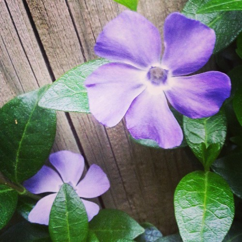 #purple #flowers