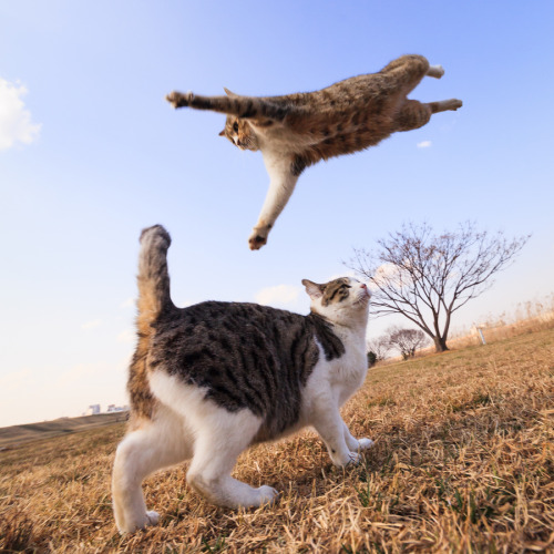 "mariusu:  (via 500px / Photo ""Oh! It's a Cat Wrestling!"" by Seiji Mamiya)"