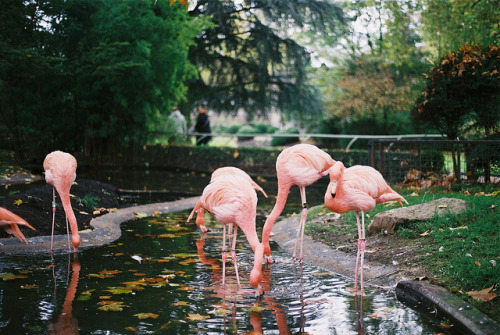 Pink flamingos by laura olljum.