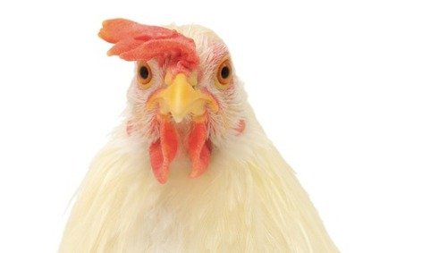mothernaturenetwork:  8 crazy things to buy your pet chicken From hen diapers to a fowl palace, the chicken craze has spawned a zany cottage industry.  First off…you have a pet chicken…