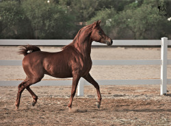 Arabian Horse by Xtreme_Studio on Flickr.