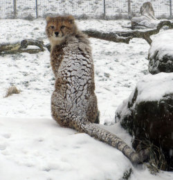 theanimalblog:  A cheetah cub seems bewildered by the snow at ZSL Whipsnade Zoo in Bedfordshire.  Picture: Whipsnade Zoo / Rex Features