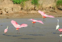 Roseate Spoonbills (Platalea ajaja) near Harlingen, South TX, USA. No matter how many times one sees it, giant pink birds taking off is always a thrill.  photo by M. Fuller (via: Rio Grande Valley Birding Festival)