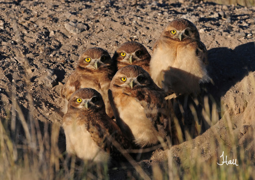 The One-eyed Burrowing Owls - 2702b+sg (by teagden)