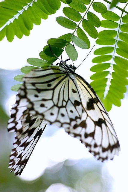 eqiunox:  Butterfly  by Laura Krarup on Flickr.