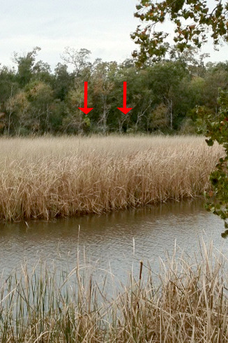 "Bigfoot sighting along Neches River?  PORT NECHES, TEXAS February 19, 2013 — Chill bumps rise on David Arceneaux's arms as he looked across Block Bayou at a line of trees about 100 yards away. ""I'm not crazy. I don't do drugs and I'm not a drinker,"" Arceneaux said before telling his tale of seeing not one but two Bigfoot-like creatures huddled together one December morning. The Nederland native visits Oak Bluff Cemetery about once a month to clean the graves of a friend and a cousin, something he has done for years without incident. But on an overcast, windless day Arceneaux got the fright of his life. ""I heard a blood curdling scream and a lady nearby asked me if I was OK. I told her it wasn't me,"" Arceneaux said as he stood, uneasily, at roughly the same spot where he saw the creatures. ""We walked over to the water and looked to the left then straight ahead."" What he saw next amazed him. Two Bigfoot-like creatures who had been throwing rocks in the water looked across at him and the unknown female. One was standing next to a tree, arms around the trunk and the other was squatted down. As the second creature rose from the crouching position Arceneaux estimated the creature was about eight-foot tall. So he snapped a photo with his phone, he said. ""All of a sudden they started walking then running through the woods,"" he said of the bipedal creatures. ""When they began to run, the lady said 'I'm leaving' and left. I stayed a few more seconds and then thought there may be a way for them to cross here so I left, scared."" Arceneaux said he could see the face of the creature ""clear as day."" There was hair from the mouth down like a man and when the creature turned he could see hair hanging down its arm. Disturbed by what he saw, Arceneaux went home and watched an episode of ""Finding Bigfoot"" but had to change the channel when they played an audio recording of Bigfoot — it was too real. ""This is my first time back here since December,"" he said. Arceneaux said he spoke to a game warden, describing the situation, and was told there had been other sightings along the Neches River. Calls placed to a local game warden was not returned by Tuesday afternoon. There are a number of organizations throughout the state that researches and documents Bigfoot sightings. Groups such as Texas Bigfoot Research Conservancy and Gulf Coast Bigfoot Research Organization. These groups strive to find evidence to scientifically prove the existence of the creature. Jerry Hestand of Texas Bigfoot Research Conservancy said there have been reports of sightings in the Big Thicket area and he has had personal experiences at the Lance Rosier Unit in the Thicket. Hestand said one of the creatures entered his camp and growled at one of the dogs. The dog, he said, growled back but by the time the men jumped up from their tents the creature was gone. Hestand said the group was part of an episode of a Travel Channel show called Weird Travels in which Bigfoot vocalizations were played. ""There is a sound on the Internet called the Ohio howl,"" Hestand said. ""That's exactly what we heard clearly and distinctly."" Arceneaux said he did not come forward with his story sooner because he worried about what others would think of him. He has shown this photographic evidence — which was taken at a far distance with a cell phone — to friends and family and only had one person scoff. He will continue to research Bigfoot, he said, but remains wary of returning to the spot where the encounter occurred. Source:  Mary Meaux of The Port Arthur News panews.com/local/x2056620313/Bigfoot-sighting-along-Neches-RiverCryptid Chronicles readers, what do YOU think?? If you enjoyed this post please comment, Like ♥ and share!Thank you!Your Chronicler,Sydney C. SquidneyDiscover more cryptids and mysterious creatures atcryptidchronicles.tumblr.comAlso follow at http://twitter.com/cryptidfansand now on facebook.com/CryptidChronicles"