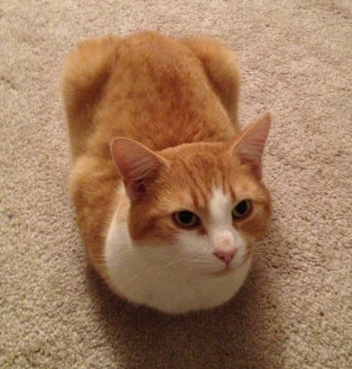 I present to you…a loaf cat!