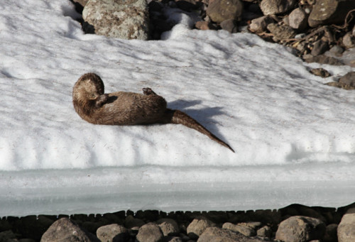 dailyotter:  Otter Grooms Herself on a Snowy Bank Via YellowstoneNPS