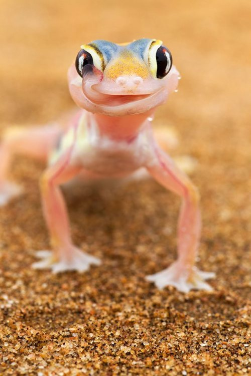 rhamphotheca:  Web-footed Gecko (Palmatogecko rangei) Wildlife photographer Martin Harvey spent two days in the baking Namib Desert hunting for the elusive pink web-footed gecko. The lizard, which spends most of the day buried in the sand, uses its long tongue to both clean its eyes of dust and drink the moisture which collects on its eyes when the morning mist rolls in from the sea. (via: Smithsonian Magazine)