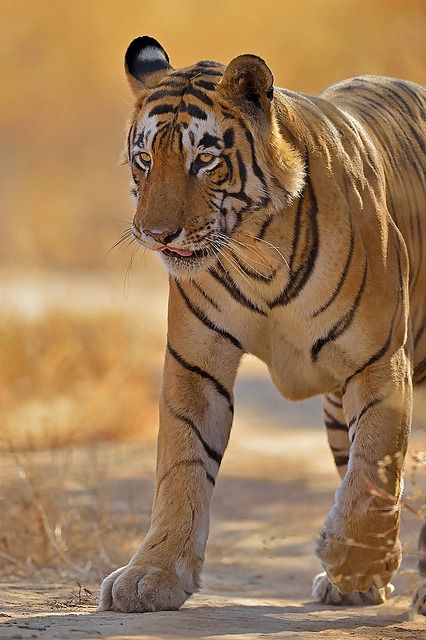 tigersandcompany:  Star male (by dickysingh)