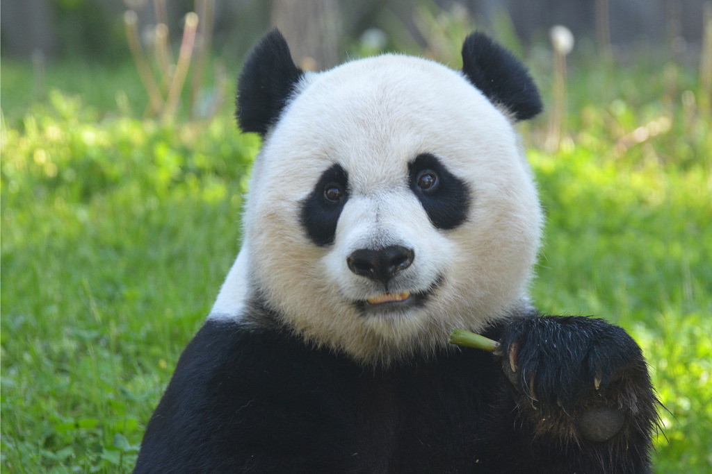 giantpandaphotos:  Mei Xiang at the National Zoo in Washington D.C. on April 27, 2013. © Dan Dan The Binary Man.