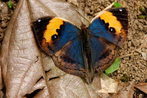 captivating-animals:  Butterfly by ~wistine