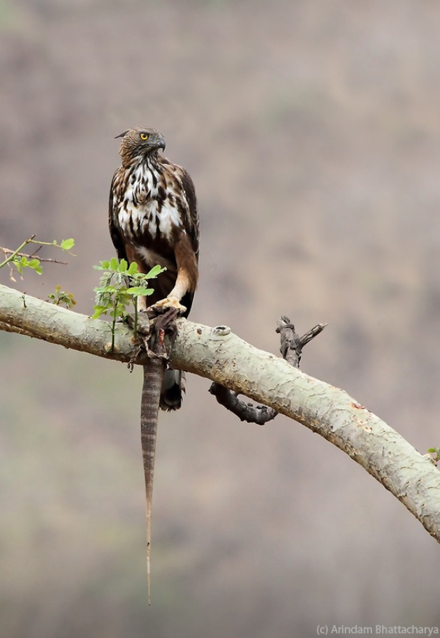 fairy-wren:  changeable hawk eagle making a meal of a monitor lizard (photo by Arindam Bhattacharya)
