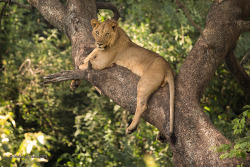 Tree climbing lion by MyKeyC on Flickr.Tree Climbing Simbas of Lake Manyara, Tanzania