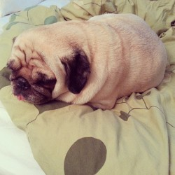 Sleepy puggerpillar
