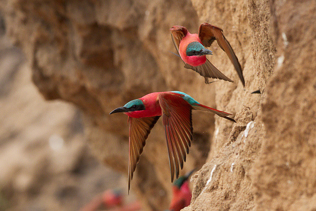 rhamphotheca:  fairy-wren: Carmine Bee-eaters (Merops nubicus), Africa (photos by wilddogger)