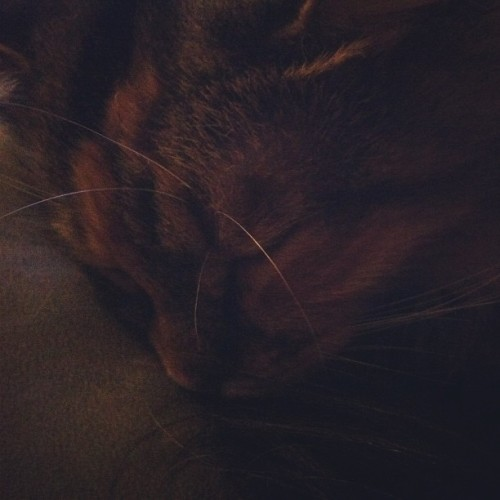 cute #cat Maple sleeping